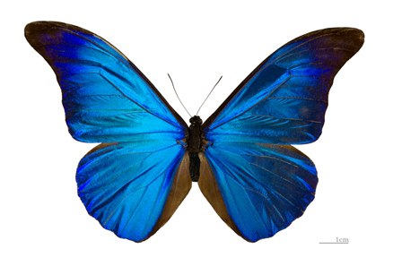 A Morpho butterfly. Photo: Didier Descouens / Wikipedia. Museum of Toulouse. CC 3.0.