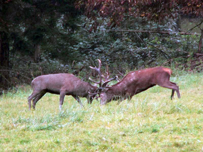 Zwei kämpfende Hirsche. Foto: HaSee.