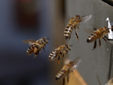 Western honey bee arriving at the hive. Photo: Waugsberg / http://creativecommons.org/licenses/by-sa/3.0/deed.en