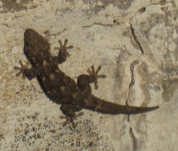 Our little friend, the Mediterranean house gecko (hemidactylus turcicus), was waiting for us morning and evening in a massive concrete pipe when we came through the gate to the Masseria. Photo: KW.
