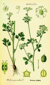 Apium graveolens, from: O. W. Thomé, Flora von Deutschland, Österreich und der Schweiz. Gera (1885). Source: Wikipedia.