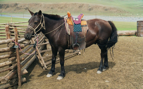 Mongol horse with working saddle. Source: Latebird/ http://creativecommons.org/licenses/by-sa/3.0/deed.en.