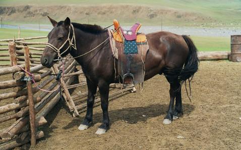 Mongolisches Pferd mit Arbeitssattel. Quelle: Latebird/ http://creativecommons.org/licenses/by-sa/3.0/deed.en.