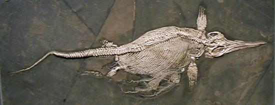 Fischsaurier aus dem Posidonienschiefer Südwestdeutschlands, 208 cm, ca. 181 Millionen Jahre alt. © Staatliches Museum für Naturkunde Stuttgart, E. Maxwell.