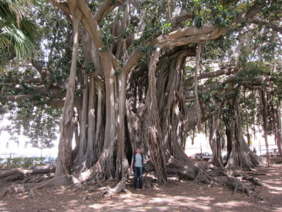 The biggest fig tree in Europe. Photo: KW.