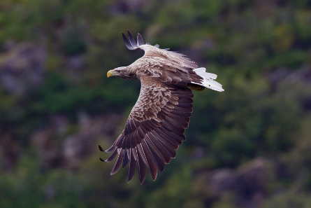 White-tailed eagle. Photo: Yathin S Krishnappa / http://creativecommons.org/licenses/by-sa/3.0/deed.en.
