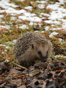 Hedgehog. Photo: Mausemarie. Source: Wikicommons: http://de.wikipedia.org/wiki/Igel#/media/File:Igel_Mausemarie_2009.JPG.