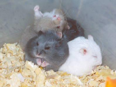 Campbell's dwarf hamsters in various colours.