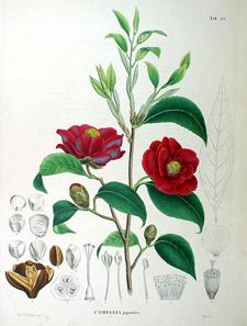 Kamelie, Illustration aus Siebold / Zuccarini, Flora Japonica, 1870.