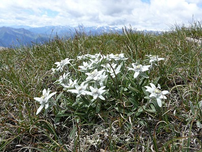 Alpine Edelweiss. Photograph: Bernd Haynold / https://creativecommons.org/licenses/by-sa/3.0/deed.en)