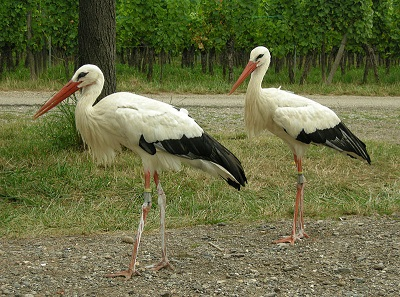 White Storks. Photograph: Thomas Bresson / https://creativecommons.org/licenses/by/2.0/deed.en.
