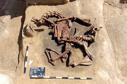 Ein Pferdeskelett in der Grube bei Pasewalk. Foto: LAKD M-V, Landesarchäologie, S. Suhr.