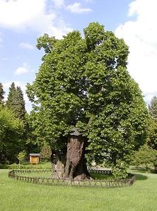 König-Matthias-Linde im Park von Schloss Bojnice. Foto: Martin Hlauka (Pescan).