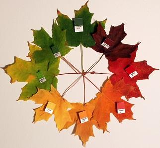 Das Blatt des Zuckerahornbaums verfärbt sich im Herbst in den verschiedensten Tönungen. Foto: Chris Glass, bearbeitet von Jeff G / Wikipedia.
