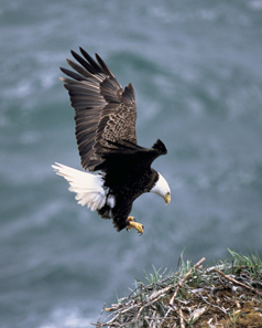 The bald eagle. Photo: Dave Menke / United States Fish and Wildlife Service.