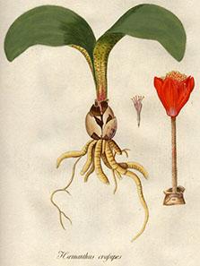 Haemanthus coccineus L., eine der seltenen Pflanzen, die man im Botanischen Garten zu Schönbrunn finden konnte. Aus: