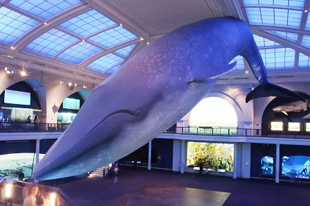 The Exhibition Lab's blue whale at the American Museum of Natural History. Photo: InSapphoWeTrust / CC BY-SA 2.0