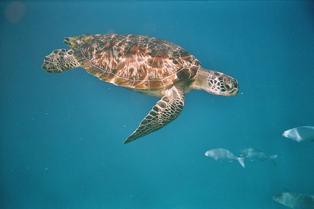 The doctors hope, Omsin will recover and soon be as well as this fellow green sea turtle. Photo: Schuetze77 / CC BY-SA 3.0