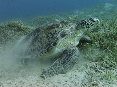 Green sea turtle near Marsa Alam, Eypt. Photo: Alexander Vasenin / Wikimedia Commons / CC BY-SA 3.0