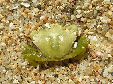 Young green shore crab (Carcinus maenas). Photo: Luis Miguel Bugallo Sánchez / CC BY-SA 3.0.