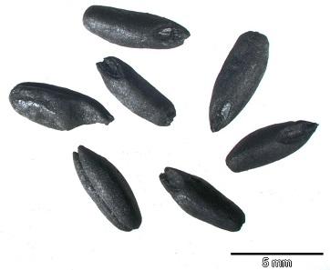 Verkohlte Roggenfrüchte aus den vorhergehenden archäobotanischen Untersuchungen privater Vorräte. Foto: A. Reuter / RGZM.