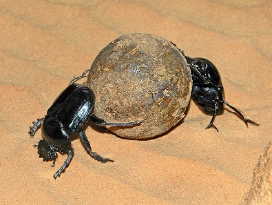 Two specimens of Scarabaeus sacer rolling a ball of dung. Photo: Hectonichus / Wikimedia Commons / CC BY-SA 3.0.