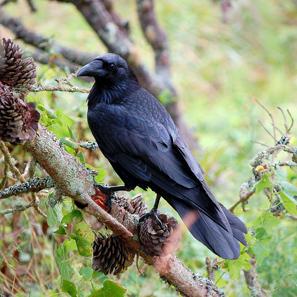 A female adult raven. Photo: Bombtime / CC BY-SA 3.0