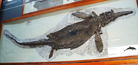 Ichthyosaurier-Fossil, ausgestellt im Londoner Natural History Museum. Foto: Ghedoghedo / Wikimedia Commons / CC BY-SA 3.0.