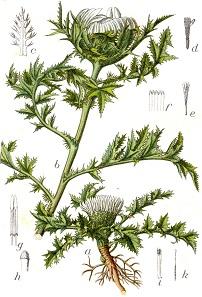 """Illustration der Silberdistel in """"Deutschlands Flora in Abbildungen"""" von 1796."""