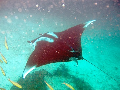 Specimen of Manta birostris. Photo: jon hanson / Wikimedia Commons / CC BY-SA 2.0
