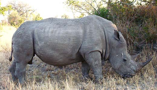 A big male Rhinoceros, photographed in SAbi SAnd Private Game Reserve, South Africa. Photo: Lukas Kaffer / Wikipedia.