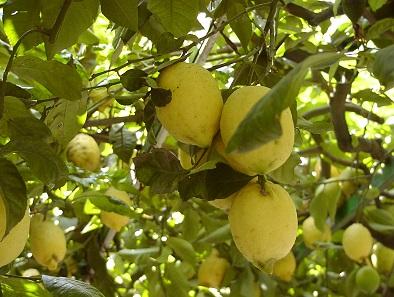 Lemons. Orchard in Syracuse. Photo: KW.