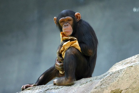 A chimpanzee at the Los Angeles Zoo. Photo: Aaron Logan / CC BY 2.5.