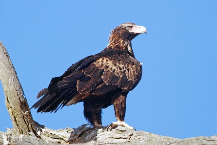 The Wedge-tailed Eagle with the typical wedge-shaped tail visible. Photo: JJ Harrison / CC BY-SA 3.0