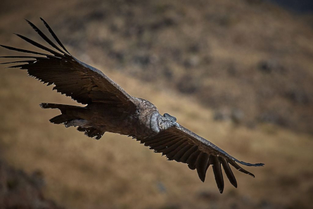 The Andean Condor is one of the largest birds in the world. Photo: Pedro Szekely / CC BY-SA 2.0.