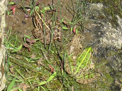 Picture puzzle: how many frogs do you see? - You'll find the solution at the end of the text. Photograph: KW.