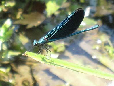 Libelle mit prachtvollen blau-schwarzen Flügeln. Foto: KW.