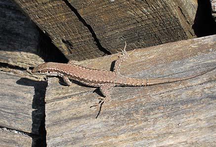 Lizard sun-bathing. Photograph: KW.