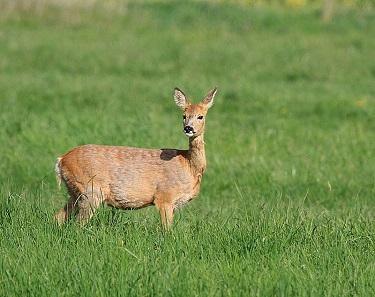 Rehe sind scheue Wesen. Kaum haben wir eines in freier Wildbahn entdeckt, springt es auch schon davon. Foto: Dornenwolf / CC BY-SA 2.0.