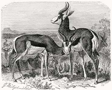 Pic. 3: The springbok - here on a 19th century drawing - is considered a South African national symbol. From Wikipedia.