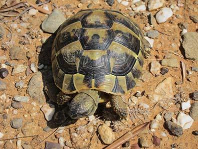 Landschildkröte. Foto: KW.