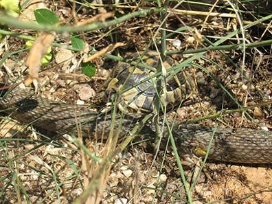 Landschildkrönte und Schlange. Foto: KW.