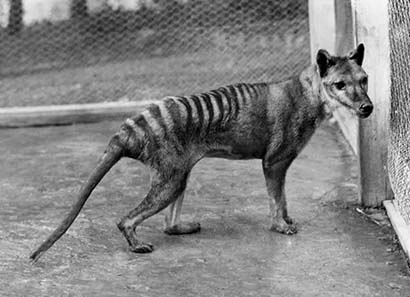 Tasmanian Tiger. Photo from 1928.