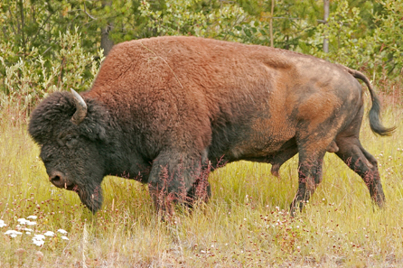 A Wood Bison around Coal River. Photo: Alan and Elaine Wilson / Wikipedia.