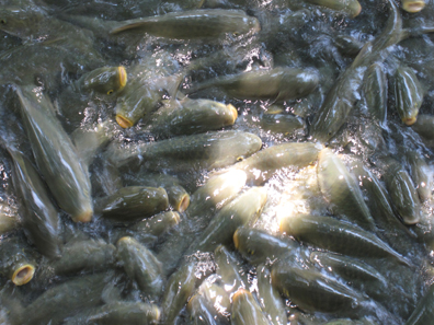 Thousands of carps live in the ponds of Urfa. Photo: KW.