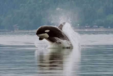 Orca porpoising. Photo: Minette Layne / Wikipedia.
