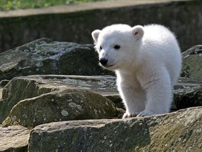 Knut im März 2007. Foto: Jesk369 (Jens Koßmagk) / Wikipedia.