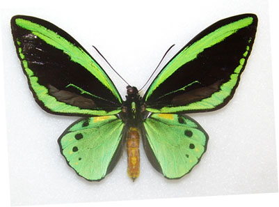Ornithoptera priamus pronomus, Lockerbie Scrub Cape York Peninsula Australia, 25 August 1975. Photo: Robert Nash, Curator of Entomology Ulster Museum / Wikipedia.