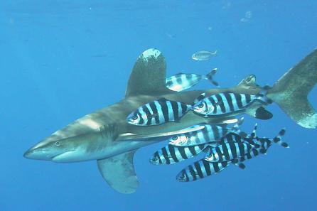 Pilotbarsche begleiten einen Weißspitzenhai. Foto: Peter Kölbl / Wikipedia.