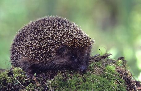 A European hedgehog (Erinaceus europaeus). Photo: Marek Szczepanek / Wikipedia.